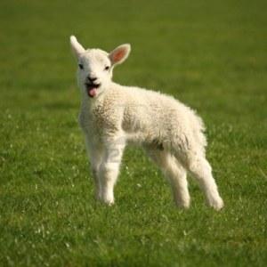 agneau-belant