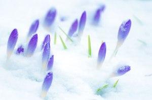 Neige et fleurs par George HodanLe miracle de la vie...