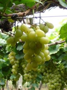Vigne par gabile gabile Soyons attachés au cep pour porter du fruit