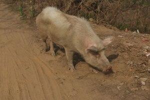 Petit cochon par Peter Griffin