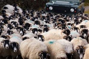 Ovins et de voiture par Petr Kratochvil Les foules, comme des brebis qui n'ont pas de berger, et que l'on pousse sans cesse