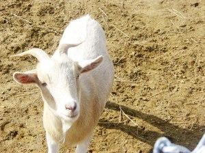 Chèvre par Charles Rondeau