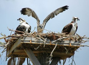 Jeune Hawks Ospreys par Christina Spiegeland