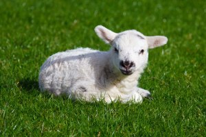 http://www.publicdomainpictures.net/pictures/20000/nahled/baby-lamb.jpg
