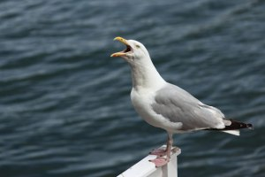 http://www.publicdomainpictures.net/pictures/10000/nahled/screaming-seagull-871281366461T69A.jpg
