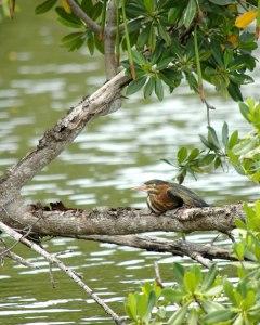 http://www.publicdomainpictures.net/view-image.php?image=24036&picture=kingfisher-oiseau-au-repos&large=1