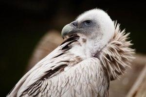 http://www.publicdomainpictures.net/view-image.php?image=11698&picture=vautour&large=1