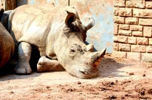 """La """"Rhinocérite"""" : au-delà de l'épidémie, une idéologie déshumanisante et régressive"""