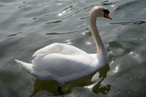 """""""Si vous voyez un grand canard blanc au long cou, soyez sûr qu'il s'agit...d'un cygne !"""